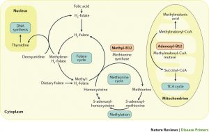 Folic Acid, Folate Cycle, Methionine Cycle